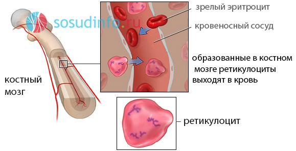 Ретикулоциты: норма в анализе крови, повышены и понижены