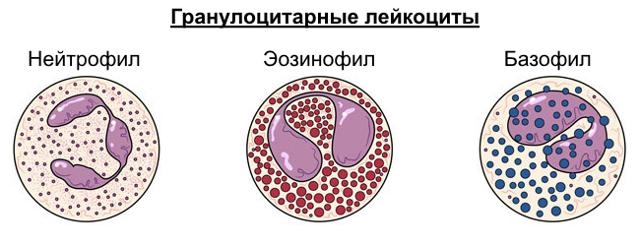 Гранулоциты: повышены, понижены, что это значит у взрослых, причины и нормы