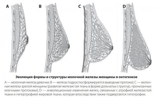 Виды и формы женской груди: характер женщины по форме сосков и молочных желез