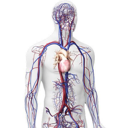 С какой стороны сердце у человека: расположение в грудной клетке