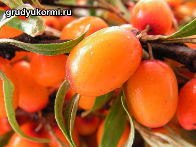 Облепиха при грудном вскармливании: можно ли кормящей маме употреблять ягоду